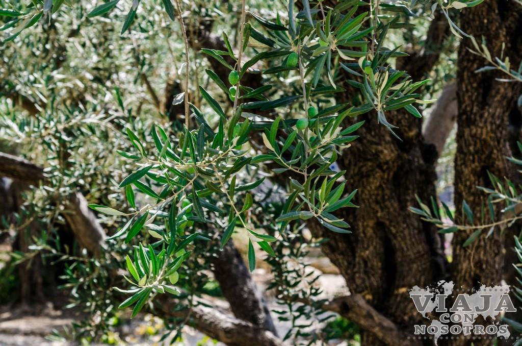 Como ir al monte de los olivos