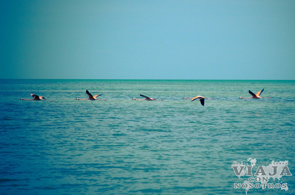 Flamingos en Celestún