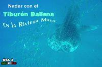 Como nadar con el tiburón Ballena en la Riviera Maya.