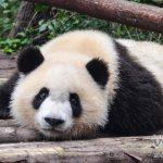 Chengdu: Centro de conservación de Osos Pandas