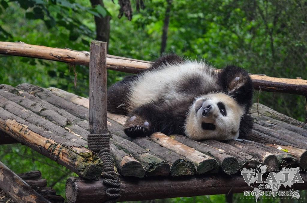 Consejos para visitar el Centro de conservación de Osos Pandas de Chengdú