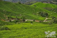 Como moverse en Cameron Highlands