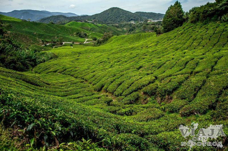 Plantaciones de té en Cameron Highlands