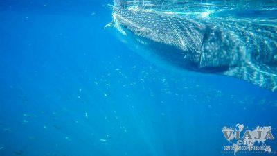 Guía para nadar con el tiburón Ballena en la Riviera Maya