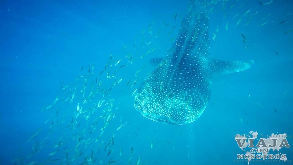 Donde ver el Tiburón Ballena