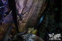 Tarántulas en la Reserva de Cuyabeno