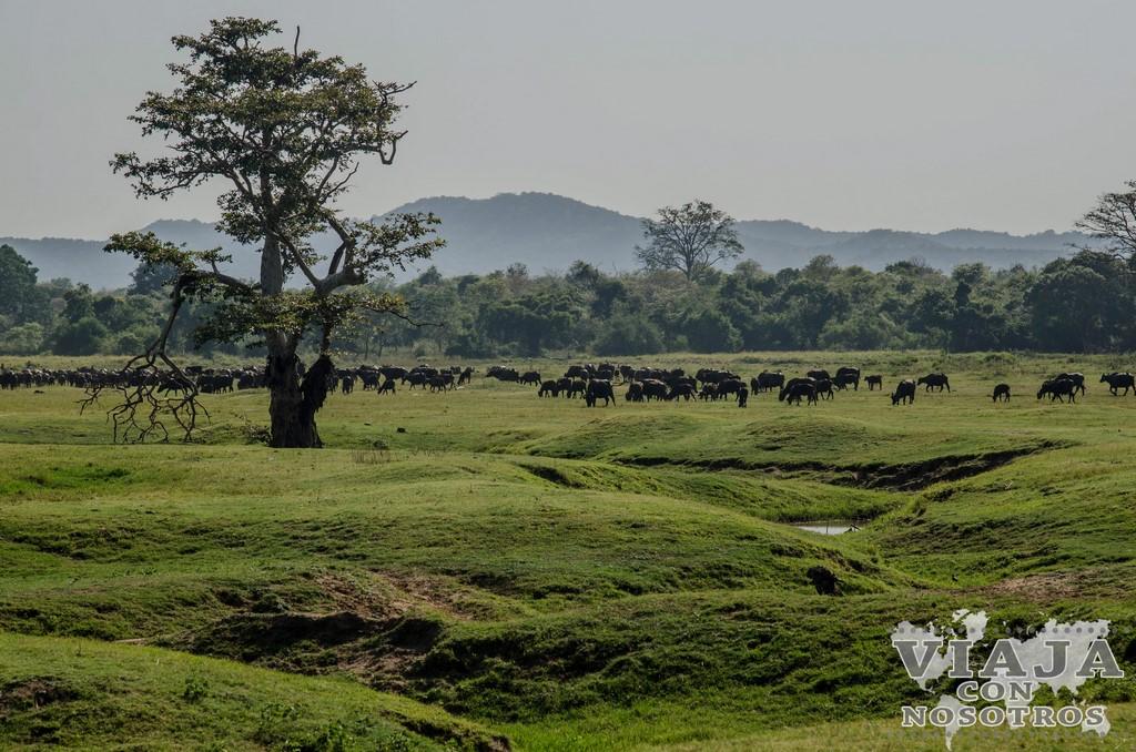 como visitar Safari al Parque Nacional Minneriya