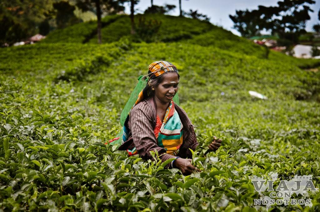 Quieres fotografiar las recolectoras de té de Sri lanka