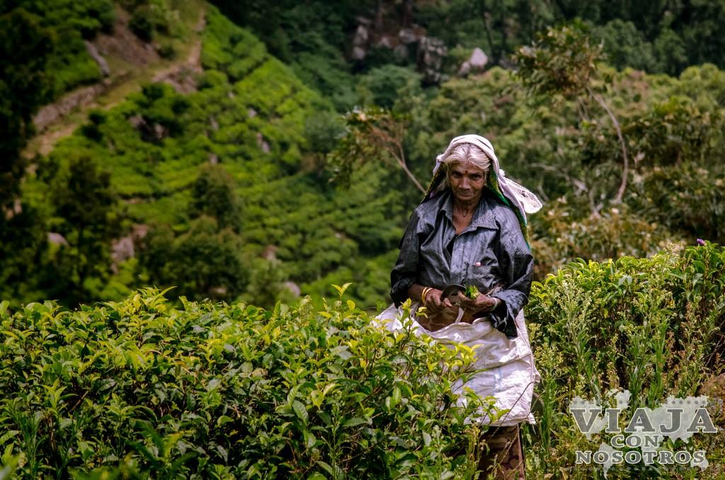 Como visitara las plantaciones de té de Haputale