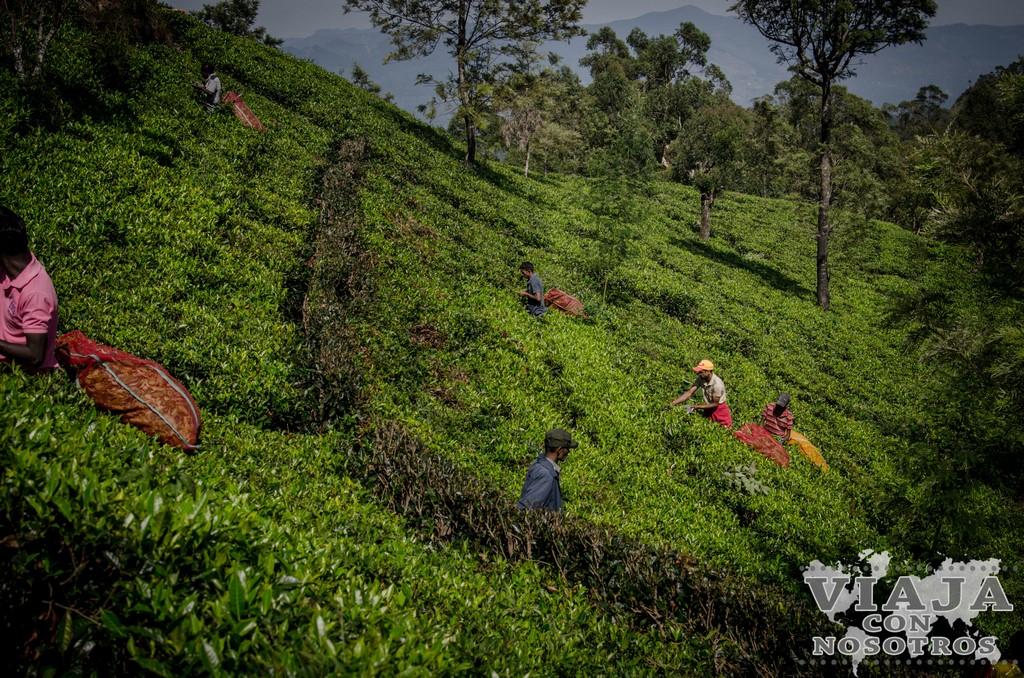 Visitar las mejores plantaciones de Sri Lanka