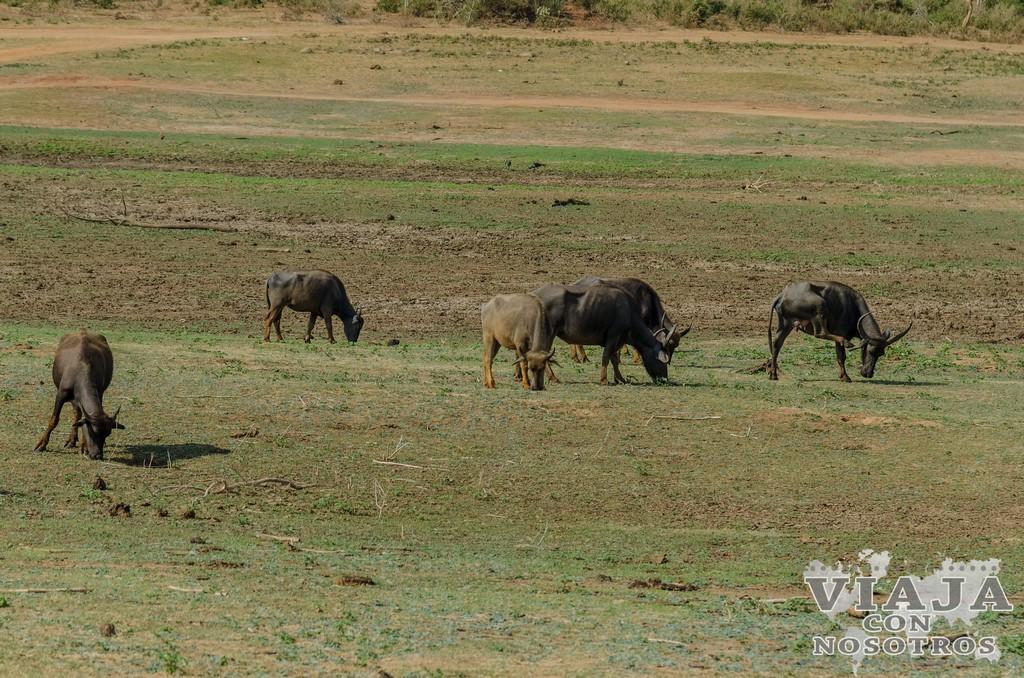 Donde contratar el Safari en el Parque Udawalawe