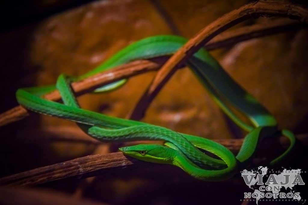 Bejuquilla Verde de Costa Rica