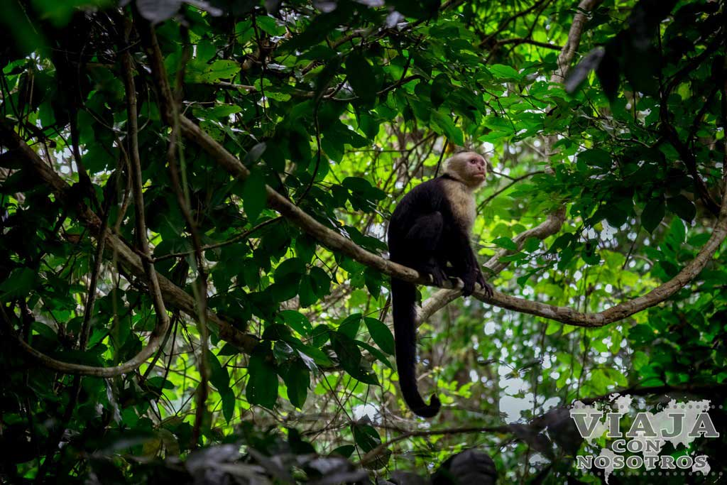 Monos capuchinos en Cahuita
