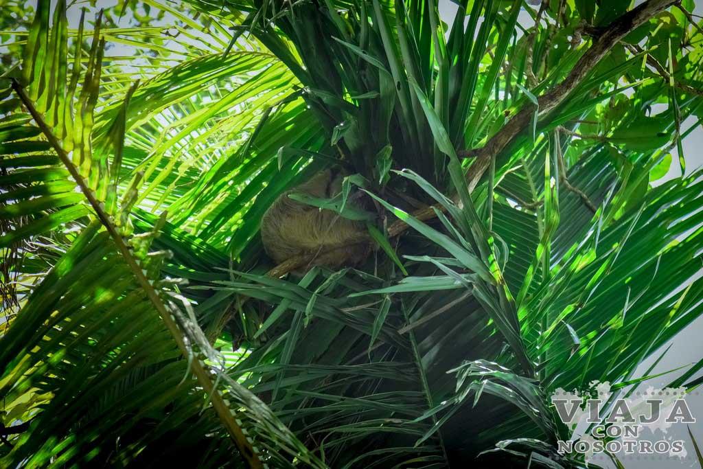 Como ver un perezoso en Cahuita