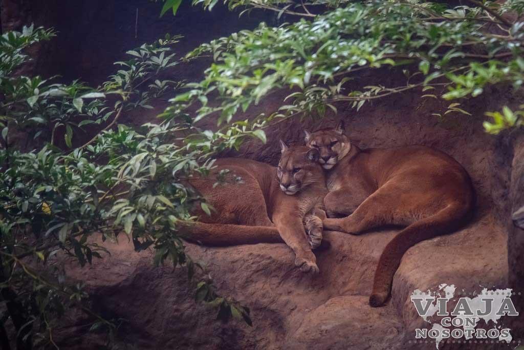 Puma de Costa Rica