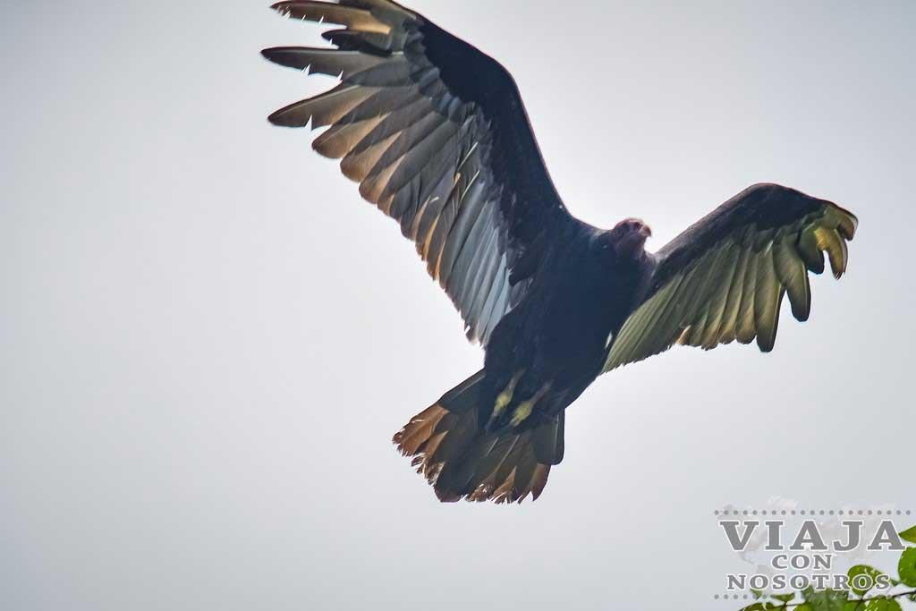 Aguila en Bajos del Toro