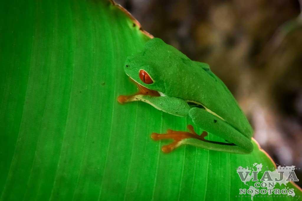 Rana de ojos rojos Costa Rica